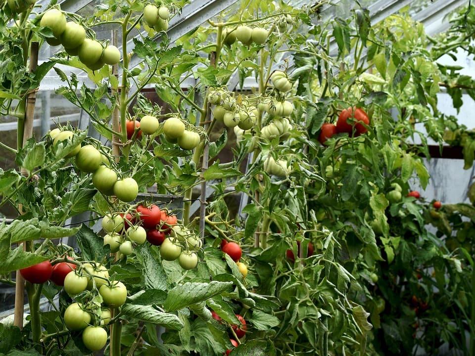 Landbrugsbesøg-tomatplantage-malta-studierejser-alfatravel.