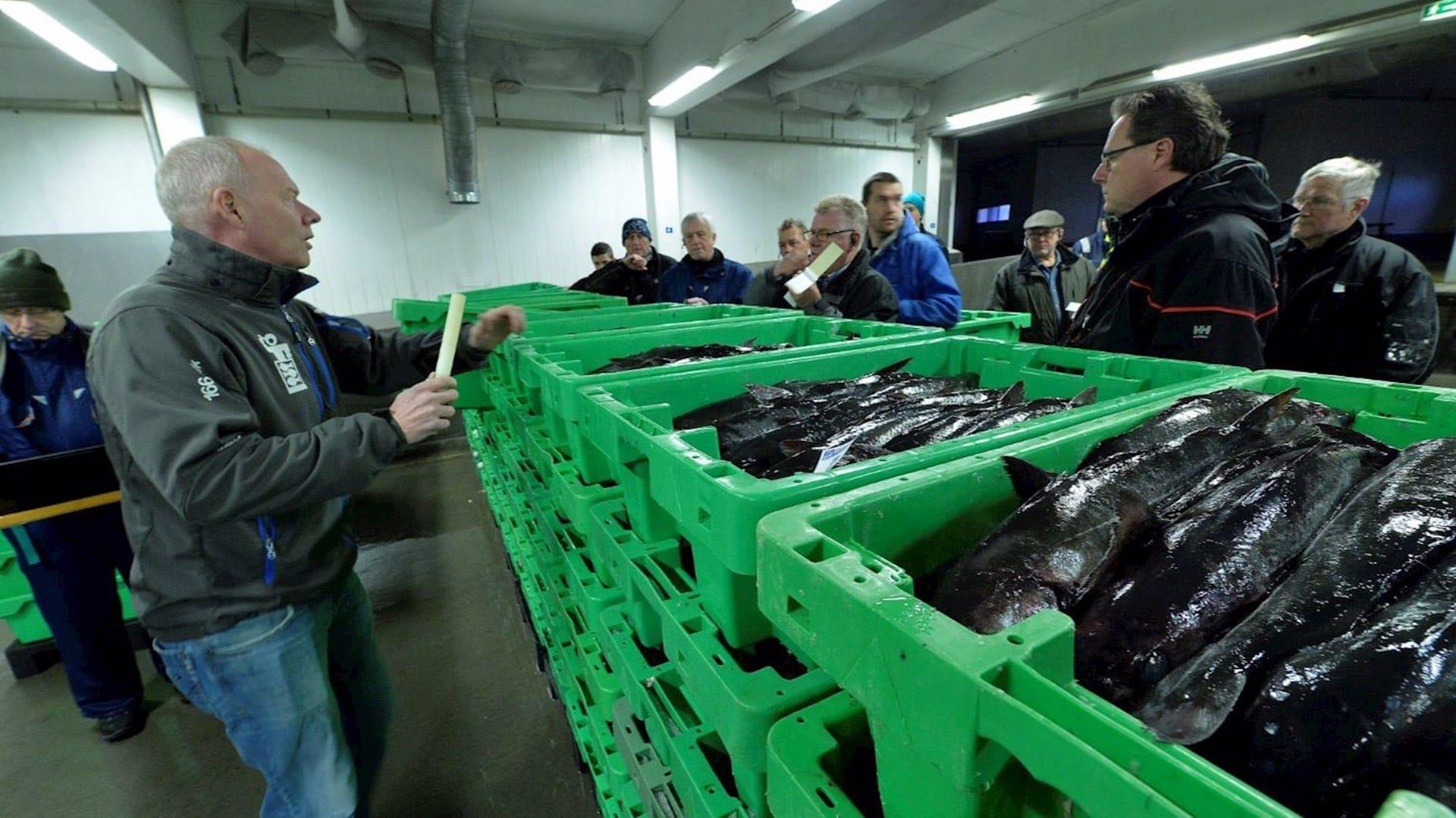 Studietur Nordjylland fiskeauktion